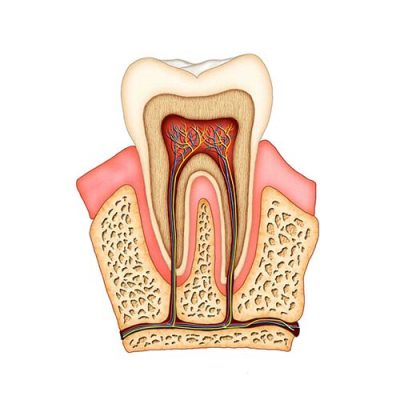 Side on cutaway anatomy diagram of a tooth structure including root canal